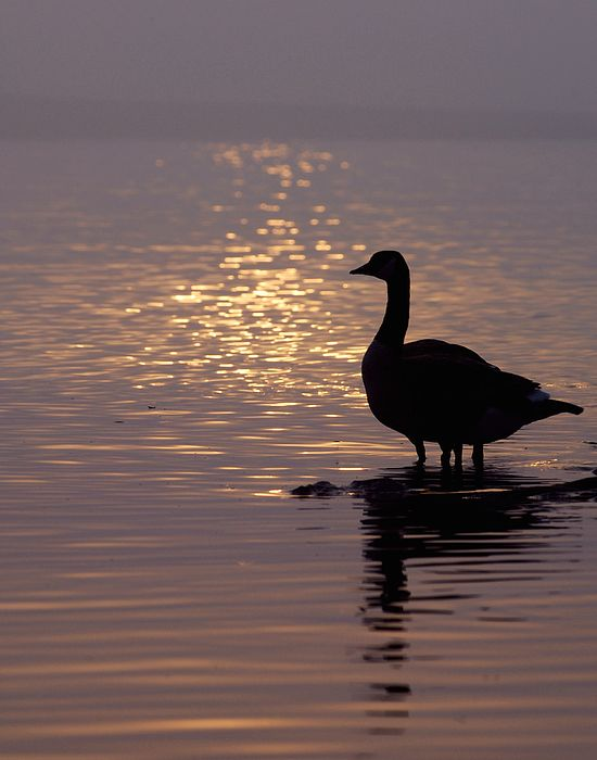 It was a misty morning in Toronto's east beaches. I shot this photo to capture the serenity and calm of the morning. It was only after I had a chance to look at the photo closely at home when I noticed the four legs and realized there were two geese in this photo. #sunrise #morning #birds
