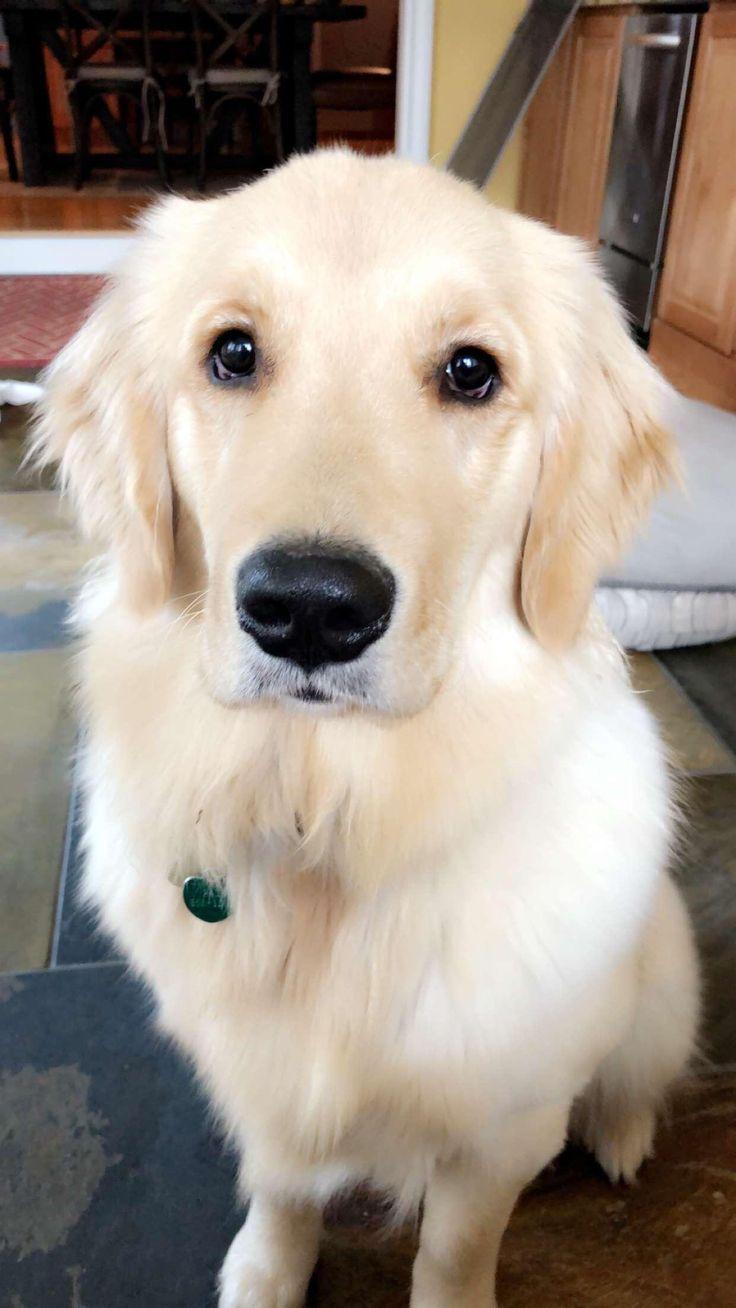 Happy Golden Retrievers Puppies In 2020 Cute Dogs And Puppies Cute Dogs Puppies And Kitties