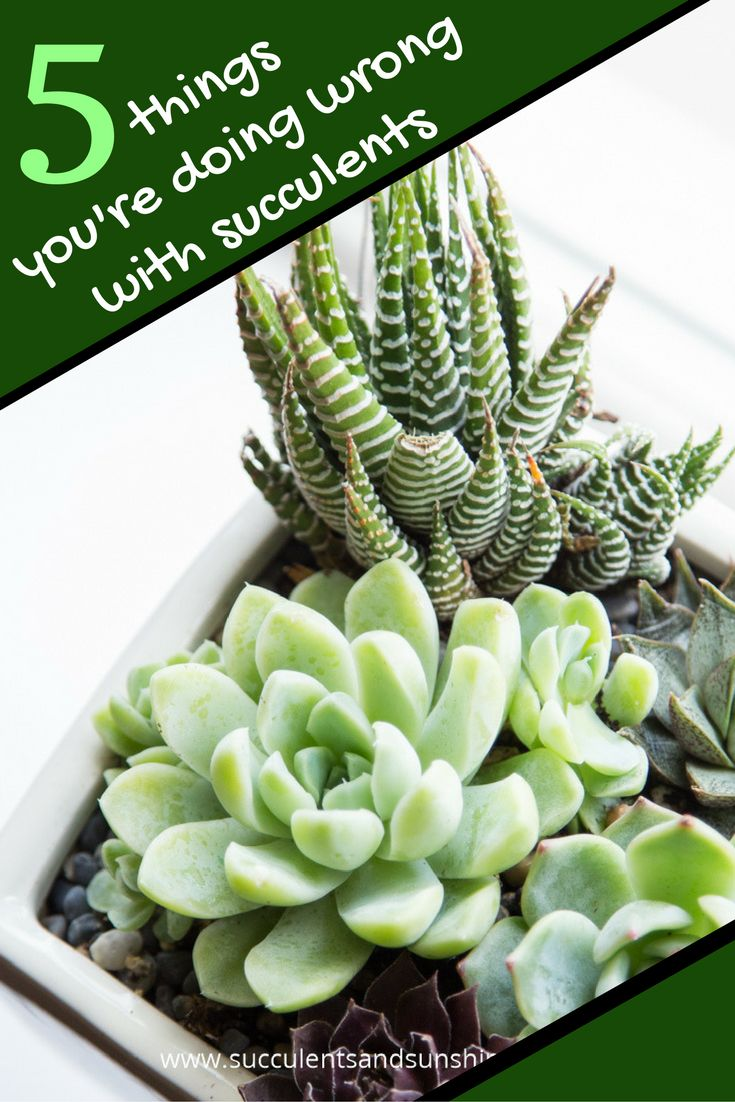 how to make succulents grow faster