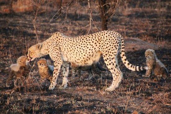 Cheetah cubs at Londolozi   Sabi Sand