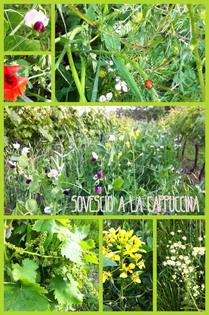 Organic farming in our vineyards  www.lacappuccina.it