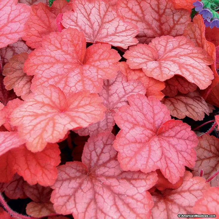 Huge peach colored leaves with silvery touches deepen and intensify to a rosy pink-purple in the fall. Georgia Peach coral bells is a must have for all shade to part sun gardens. Its unique color and texture provides added interest to a garden all season long.   From its round mound foliage, it produces wiry stemmed pink bell shaped flowers that bloom for weeks.  These attract hummingbirds and butterflies to the garden.  Use as a border, in containers or for ground cover. (Heuchera)USPP