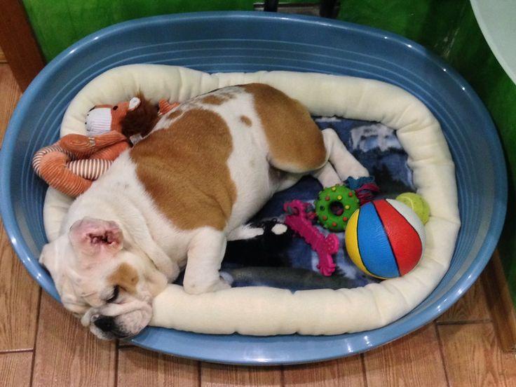 #bulldog 's bed