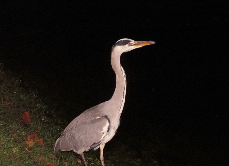 Heron @ River Ness, Inverness