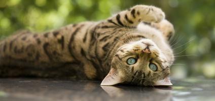 Meet Luca, a Bengal Cat with Boundless Energy