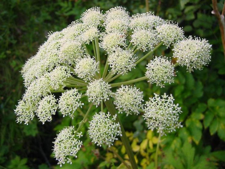 63 Best Angelica Images On Pinterest Medicinal Plants
