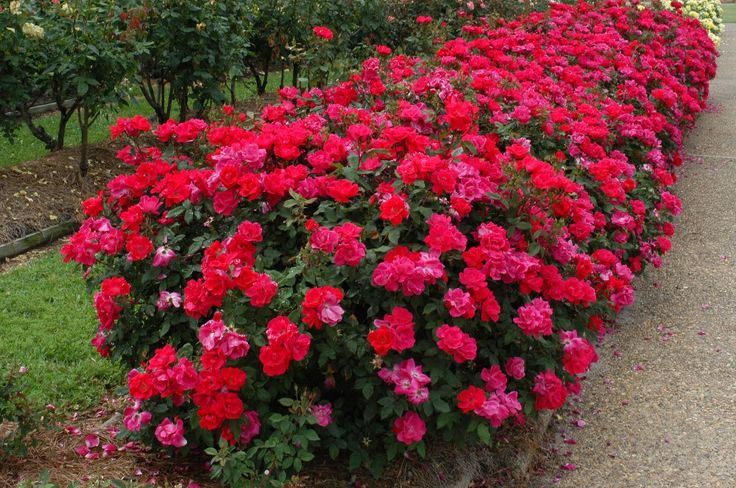 Double Knock out roses - the least demanding rose ever.  Blooms like crazy all summer long, no deadheading required.  Fills up a flower bed.  Plant 3 feet apart, prune in spring to keep bush size under control.  Planted in full sun.  Plant with blue salvia, daisies, and dianthus.  I planted a climber - purple jackmanii at the base of each plant to let it grow up and through the branches in the hopes it will twine onto the deck.