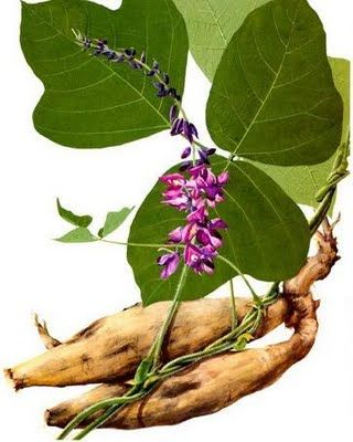 Uses for Kudzu ~ in the pea family, natural starch, curbs anxiety and sugar and alcohol cravings