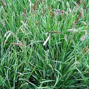 Sesleria_Greenlee; plant 1' on center as a ground cover.
