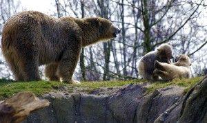 Spelende ijsbeertjes in Diergaarde Blijdorp