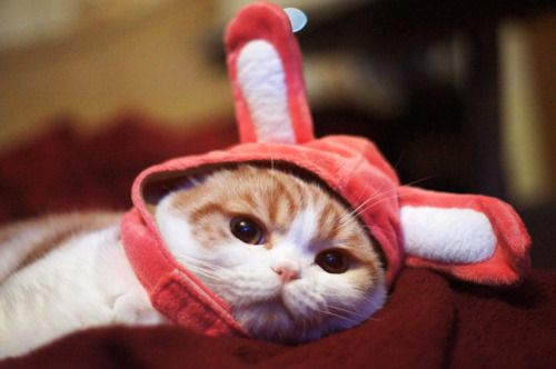 Waffles the cat in a bunny hat