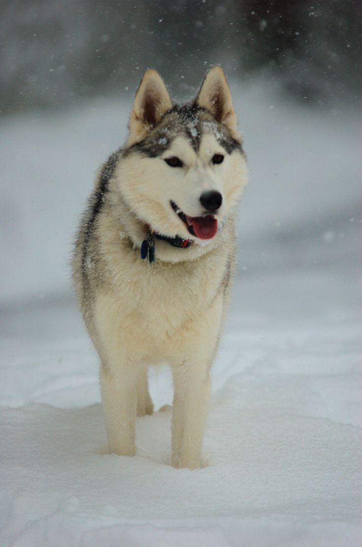 Onezer search image jack - Siberian Husky In Snow