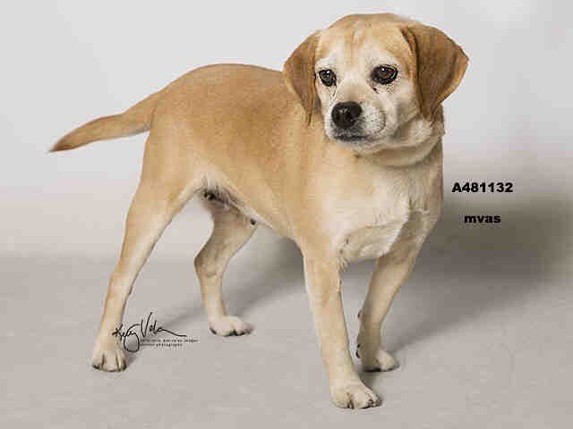 Winter A481132 Moreno Valley Ca Female Yellow Beagle The