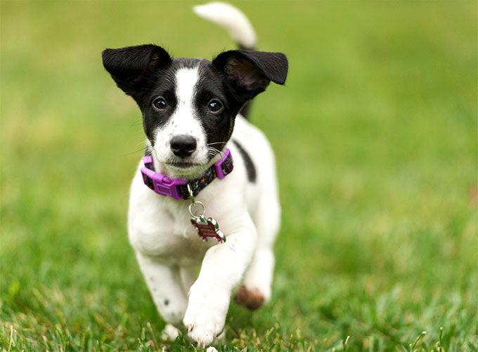 russell terrier breed jack russell terrier dog breed information pictures 2975