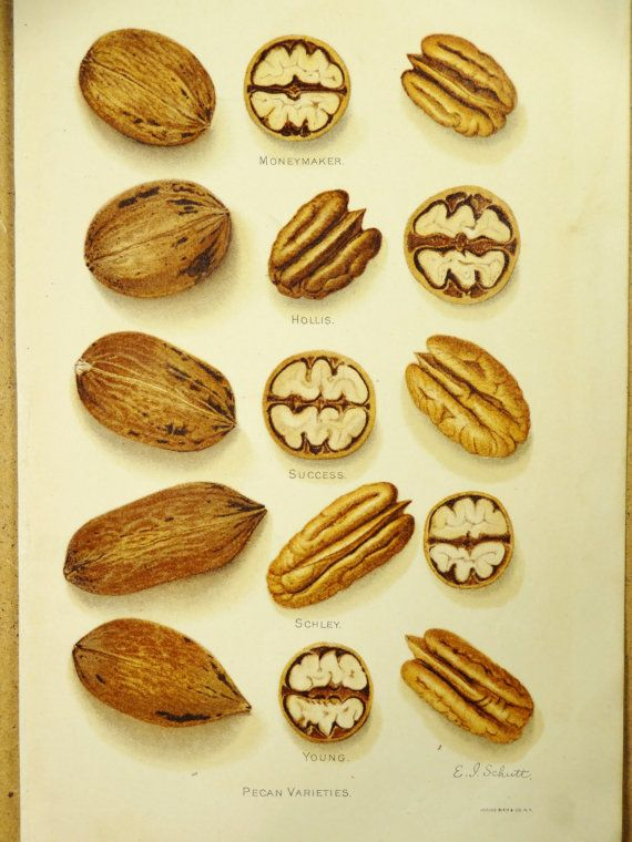 Pin By Rosalie Pecans On Pecan Appreciation Fruit Print