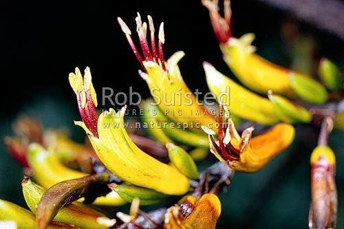 New Zealand native mountain flax (Phormium cookianum) flower heads, New Zealand (NZ). Rob Suisted Photography (naturepics.com)
