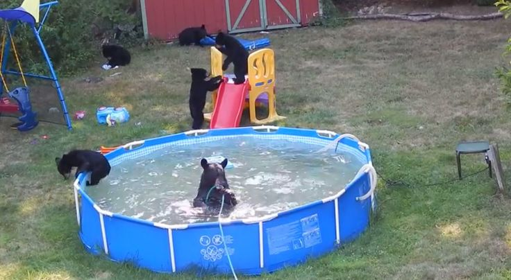 Ahomeowner in New Jersey captured multiple videos of a family of bears romping in a family's backyard, above-ground pool.  In videos posted to YouTube on Wednesday by Tim Basso, five cubs and an adult bear can be seen playing with toys, swimmingin the pool and jumping off a plastic slide.  Some pool toys were damaged, but the bears looked like they were having a great time.