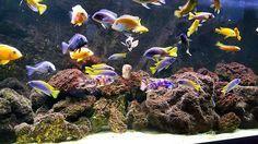 #cichlidsofinstagram #cichlid #cichlids #cichlider #fisk #instapet #fish #aquarium #akvarie #malawicichlids #africancichlids #140gallon #firefish #peacockcichlid #fishtank #myfish #yellowtail #mbuna #reddragon #beautiful #instacichlid #ocean #fishkeeper #ciklider #ciclidos #cichlidkeeper #malawicichlidskeeper #aquariums #lakemalawi #aulonocara