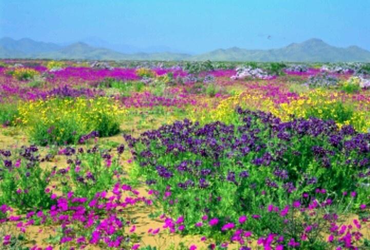Flowering desert - Chile