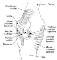 Knee joint anatomy diagram showing the bones, muscles, tendons and cartilage.