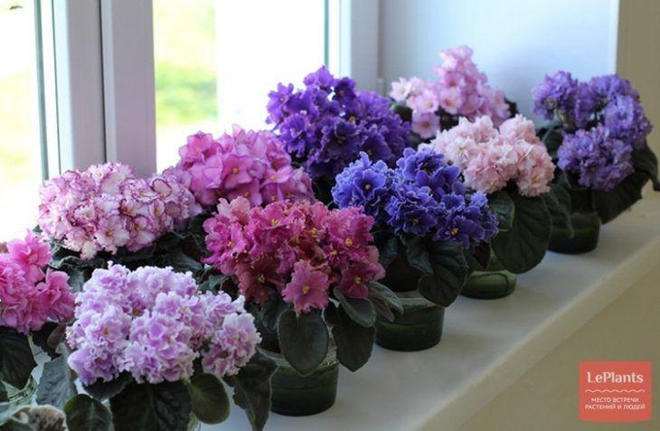 Violetele africane le ud cu ajutorul... ciorapilor - Fasingur
