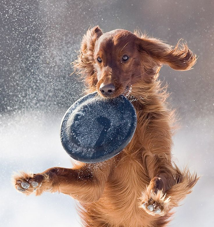 Home Medicine Bible For Your Irish Setter The Alternative Health Guide to Keep Your Dog Happy Healthy and Safe