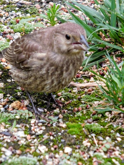 Young Female Cowbird / She's eating  seeds dropped from the feeder. - Photo by S.Dorman