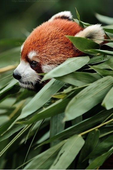 Red Panda. #animal #fauna