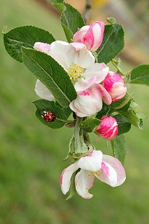 Ladybug and apple blossoms