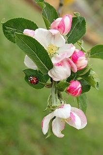 Ladybug and apple blossoms
