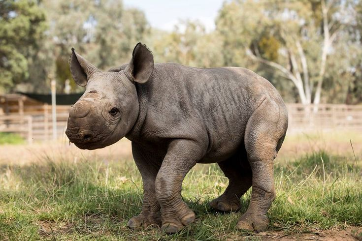 The unnamed calf is the second black rhino born this year at Australia's Taronga Western Plains Zoo.
