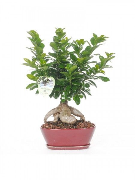 10 best bonsai ficus ginseng images on pinterest bonsai - Bonsai ficus ginseng entretien ...