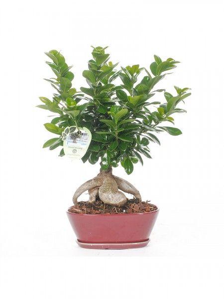 Bonsai Ficus Ginseng, varietà microcarpa compacta. Vaso in cramica ovale, bello e funzionale per curare con facilità il bonsai
