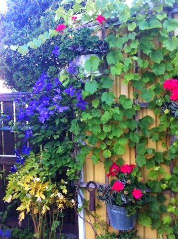 Trädgård: #Förådsvägg göms under #Klematis och #Vinrankan.