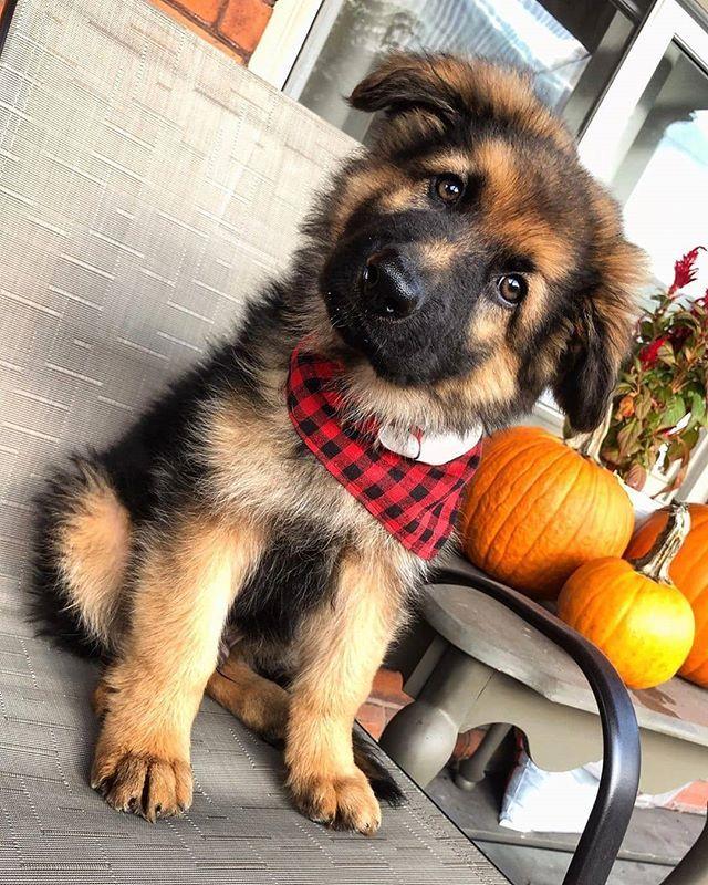 German Shepherd Puppies For Sale In Va Craigslist