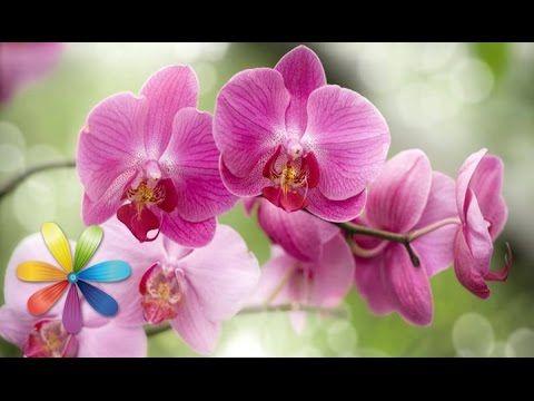 Секреты ухода за орхидеями - Все буде добре - Выпуск 148 - 14.03.2013 - ...