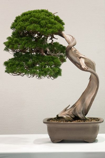 I would love to have some Bonsai Trees, particularly Cedars of Jordan