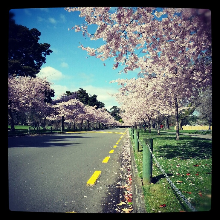 Cherry Blossoms Palmerston North, New Zeland