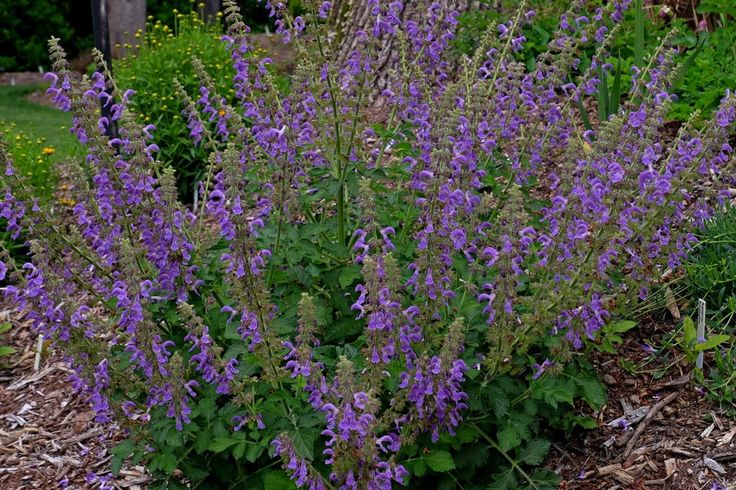 Salvia miltiorrhiza for sale for only $15.00 | Danshen, Red Root Sage | Plant Delights Nursery