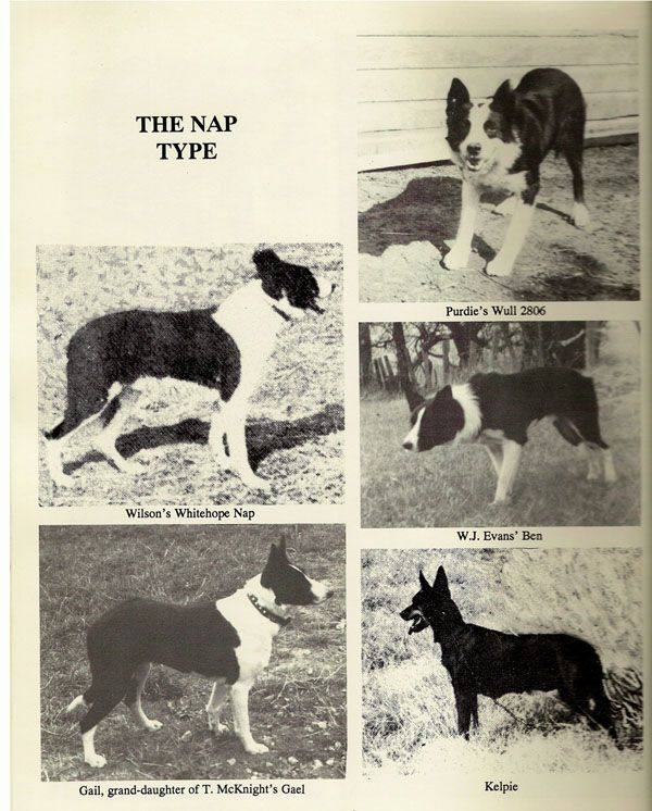 Of the four types of Border Collies, the Nap Type is the only smooth coated one. The name comes from a dog called Whitehope Nap. These dogs are strong, fast and powerful. Their coat is short, but has an undercoat to act as insulation from cold or heat. Many have longer legs and shorter bodies, making their outline more square than the other types. Because of their short coats, speed, and power, many Americans used them to work cattle on large ranches in the Southwest.