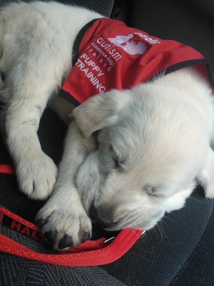 9 best Autism Assistance Dogs Ireland (AADI) images on Pinterest