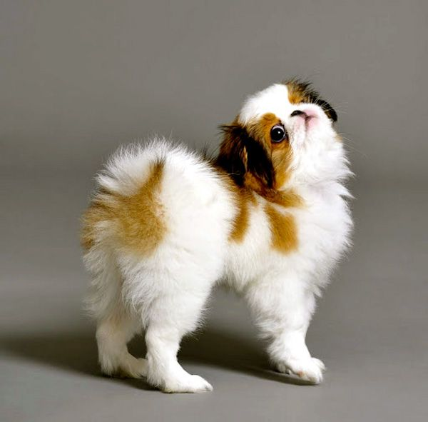 Fabel-Mi Japanese Chin ~ Beauty Without CompromiseFabelMi welcomes UME Japanese Chin Puppy