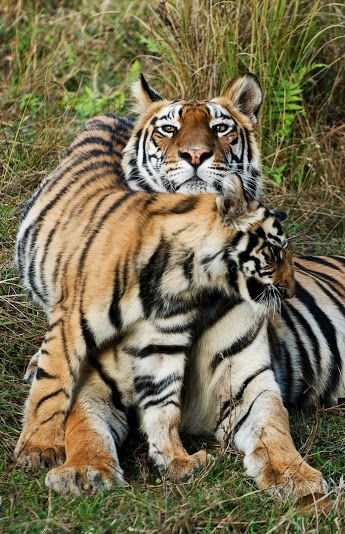 Here's a fantastic quote that sums the essence of Raksha Bandhan with India Is' ever popular segment - Tiger Tuesdays  The mildest, drowsiest sister has been known to turn tiger if her sibling is in trouble. - Clara Ortega