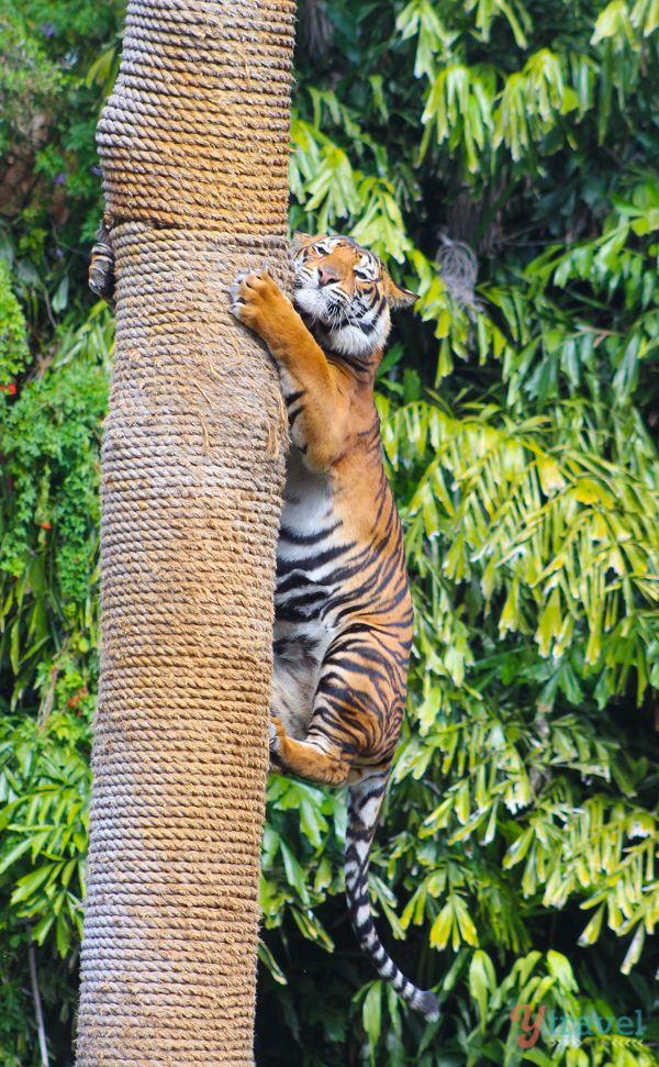 See Tigers play at Dreamworld on the Gold Coast, Australia