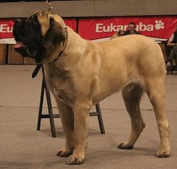 English Mastiff. The BEST dog i've ever owned. I will own another some day...