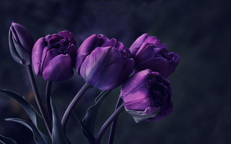 mystery, flower, night, dark, tulips, purple, petals, photo, beautiful