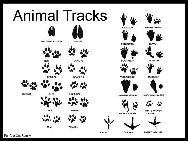 Sly image intended for animal tracks printable