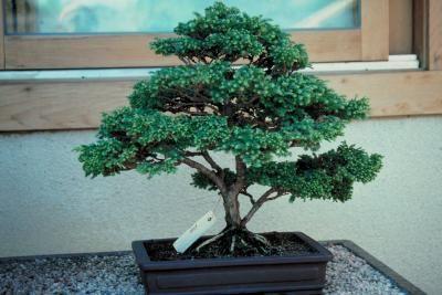 Todo lo que debes saber sobre un árbol bonsái | eHow en Español