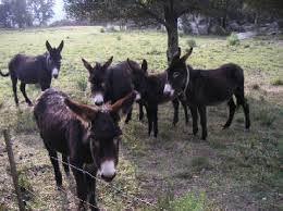 burros catalans aiguamolls - Cerca amb Google