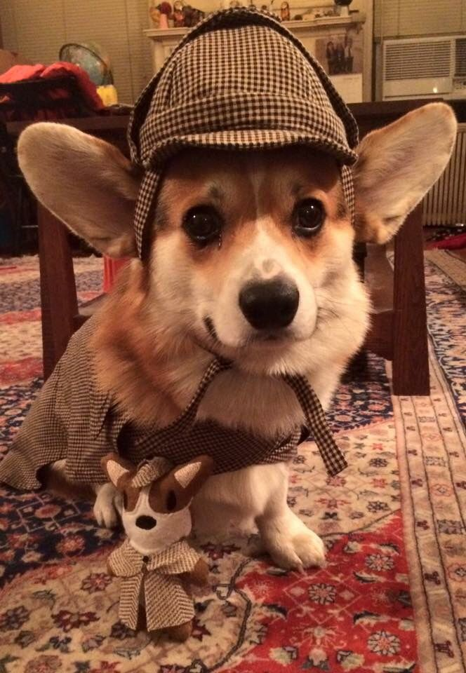 Peanut the Corgi as Sherlock Holmes